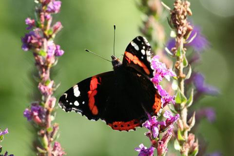 Featured Photo: red admiral