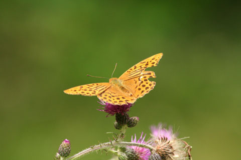 Featured Photo: silver-washed fritillary