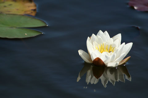 Featured Photo: water lily